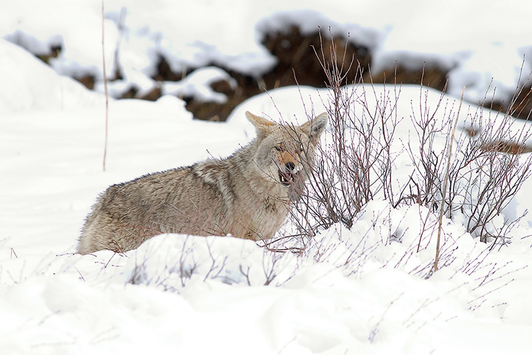 Coyote_withVole_6797