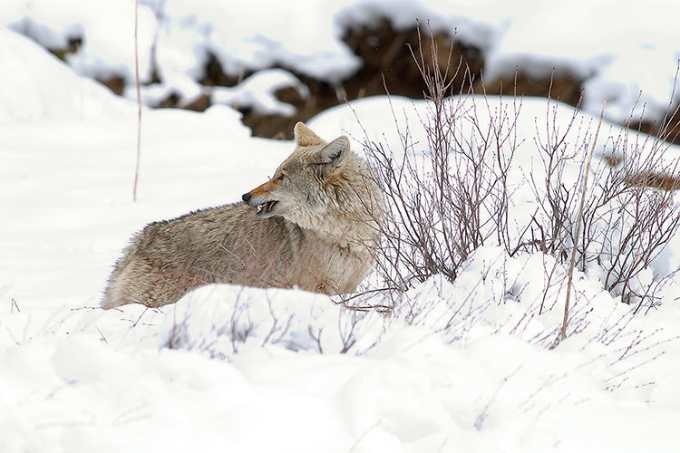 Coyote_withVole_6802