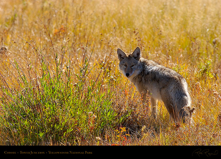 Coyote_TowerJunction_9303
