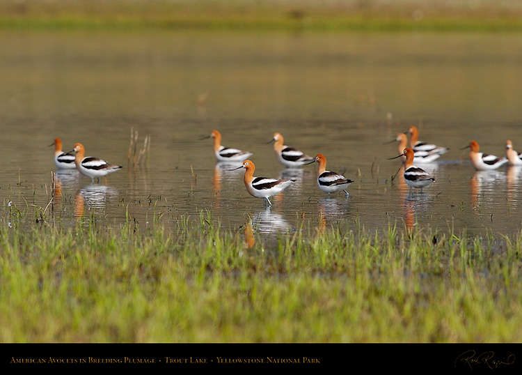 AmericanAvocets_TroutLake_5971