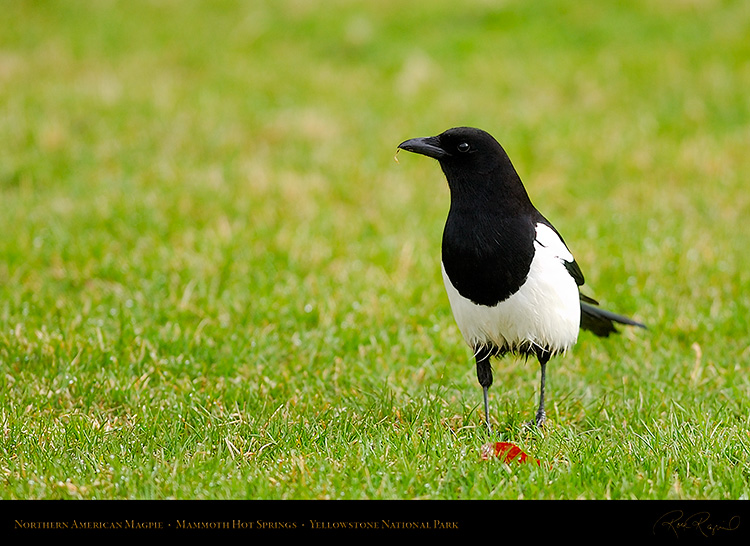 Magpie_MammothHS_5830c