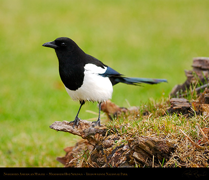 Magpie_MammothHS_5833M