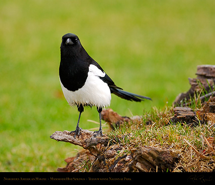 Magpie_MammothHS_5834M