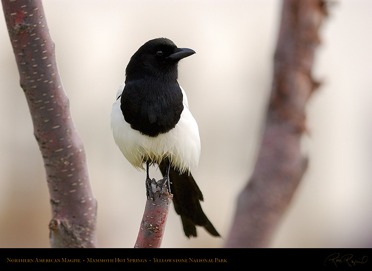 Magpie_MammothHS_5837