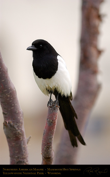 Magpie_MammothHS_5840