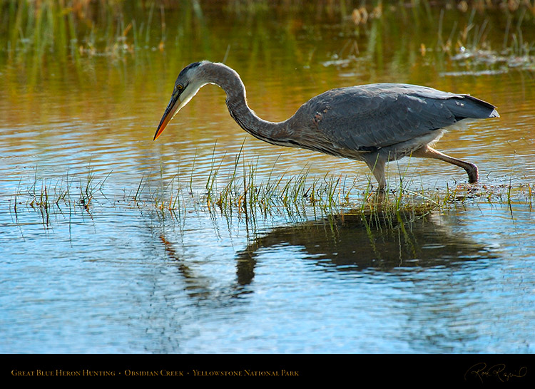GreatBlueHeron_Yellowstone_0559
