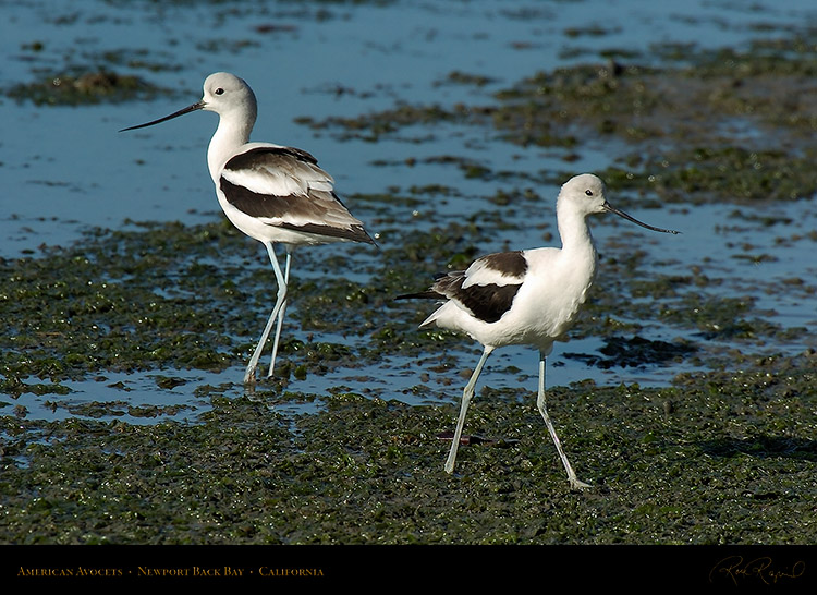 AmericanAvocets_4239