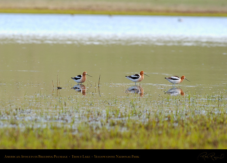 AmericanAvocets_TroutLake_5952