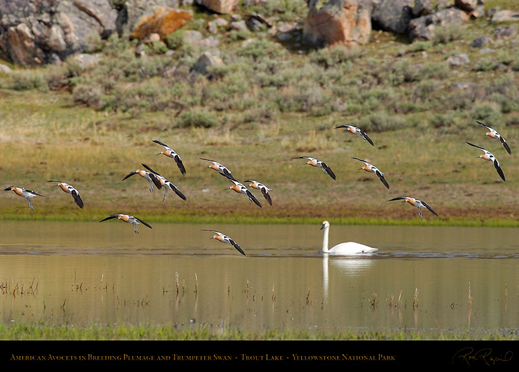 AmericanAvocets_TroutLake_5968