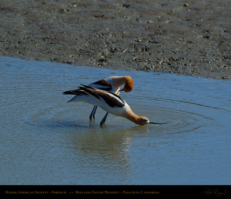 MatingAvocets_Foreplay_0325M