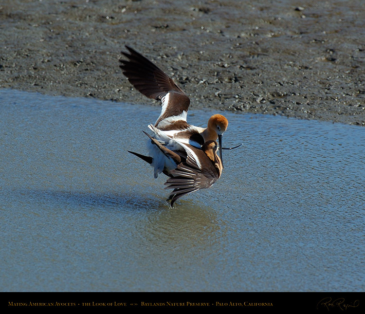 MatingAvocets_Look_ofLove_0329M