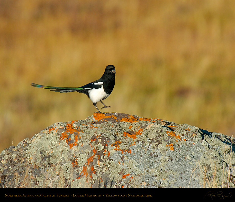 Magpie_atSunrise_LowerMammoth_7763M