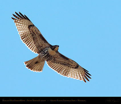 Harlans_Red-Tail_LightMorph_Juvenile_0705M
