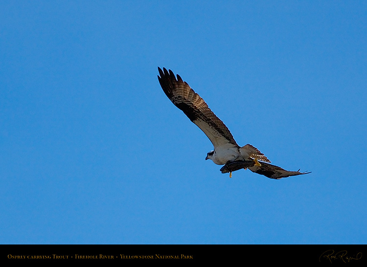 Osprey_withPrey_8728