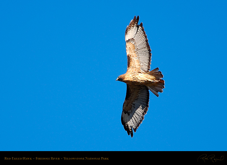 Red-TailedHawk_Yellowstone_0620