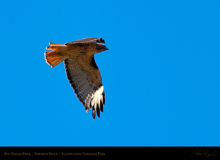Red-TailedHawk_Yellowstone_0626