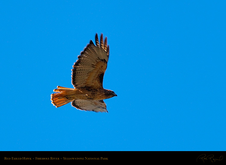 Red-TailedHawk_Yellowstone_0627