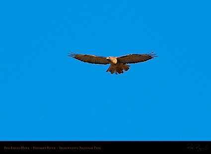 Red-TailedHawk_Yellowstone_0633