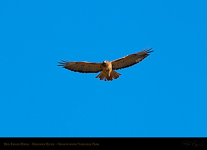 Red-TailedHawk_Yellowstone_0636