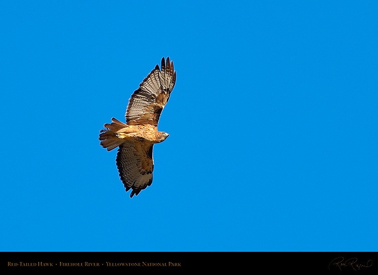 Red-TailedHawk_Yellowstone_0645