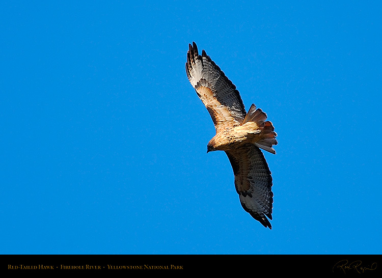 Red-TailedHawk_Yellowstone_0622
