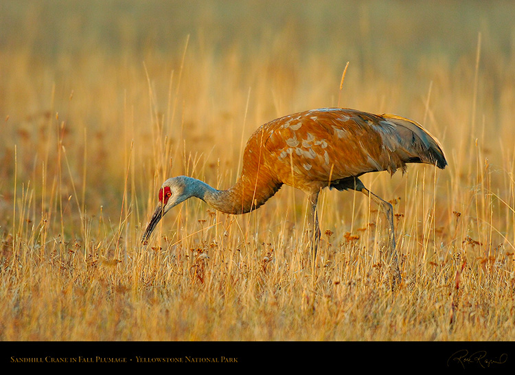 SandhillCrane_Yellowstone_9332
