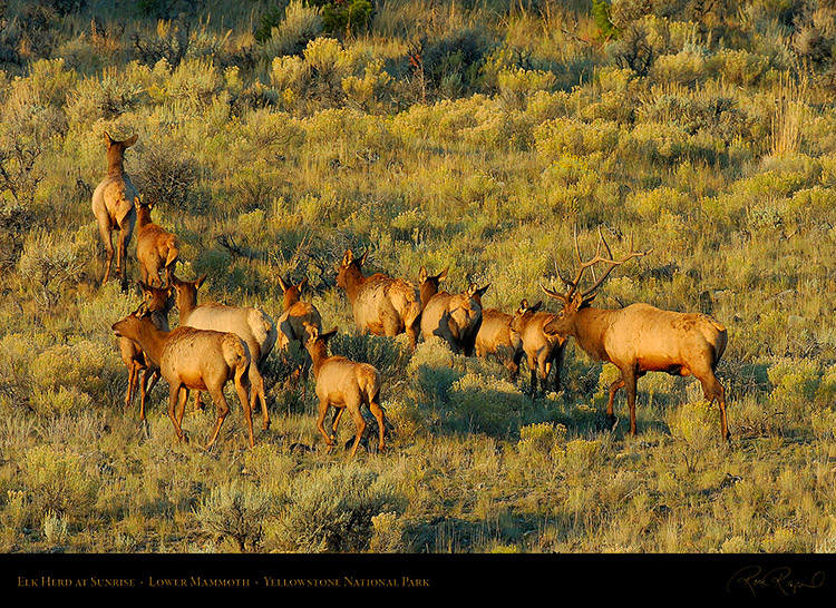 ElkHerd_atSunrise_LowerMammoth_0233