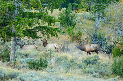 Elk_atDawn_LowerMammoth_7668