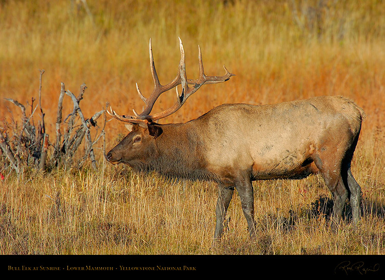 Elk_atSunrise_LowerMammoth_7778