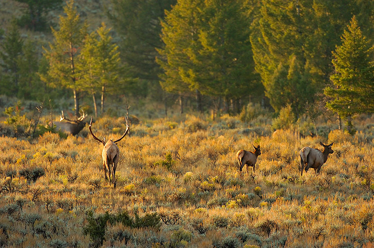 Elk_atSunrise_LowerMammoth_8034