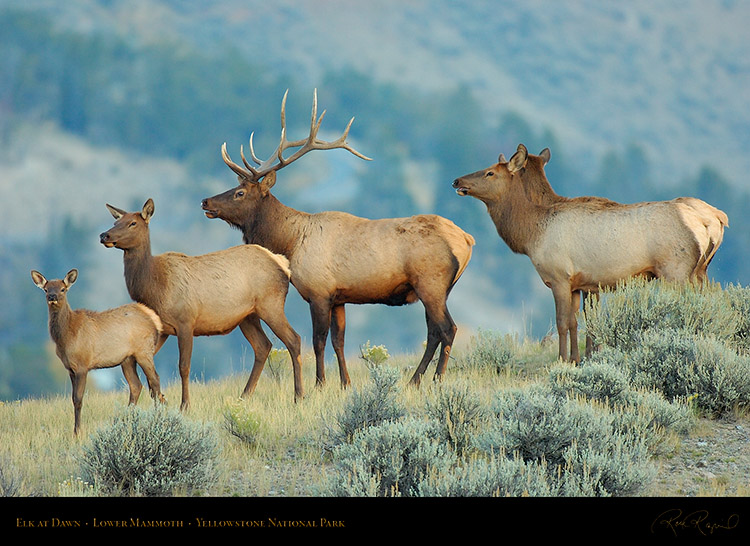 Elk_atDawn_LowerMammoth_0225