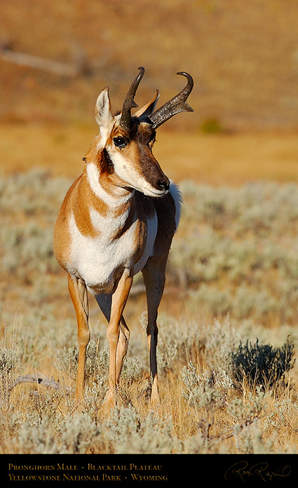 Pronghorn_BlacktailPlateau_0466c