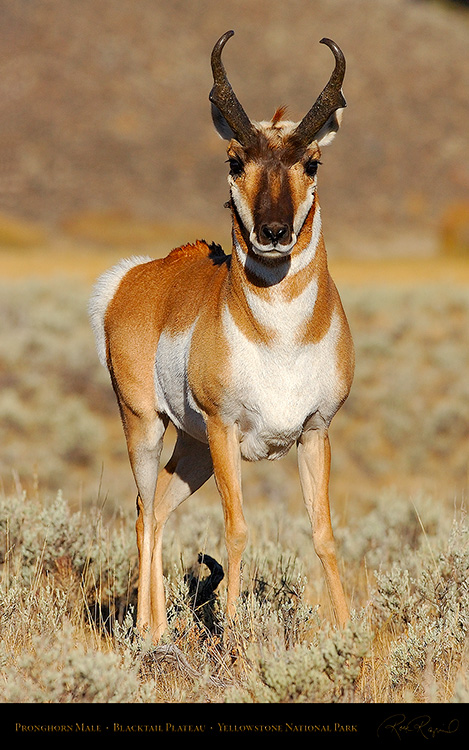 Pronghorn_BlacktailPlateau_0467M