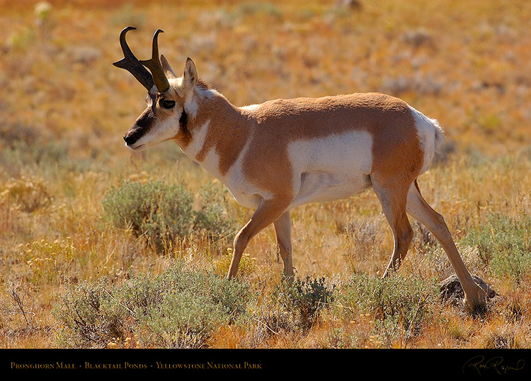 Pronghorn_BlacktailPonds_9966