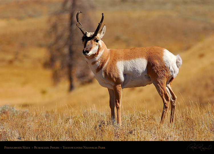 Pronghorn_BlacktailPonds_9973