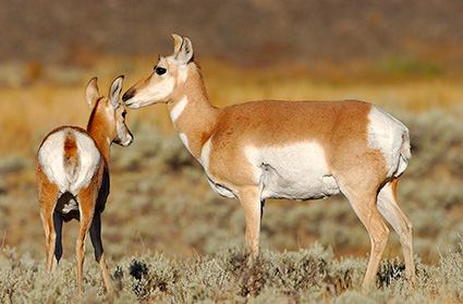 Pronghorn_FemaleJuvenile_BlacktailPlateau_0475