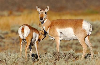 Pronghorn_FemaleJuvenile_BlacktailPlateau_0477