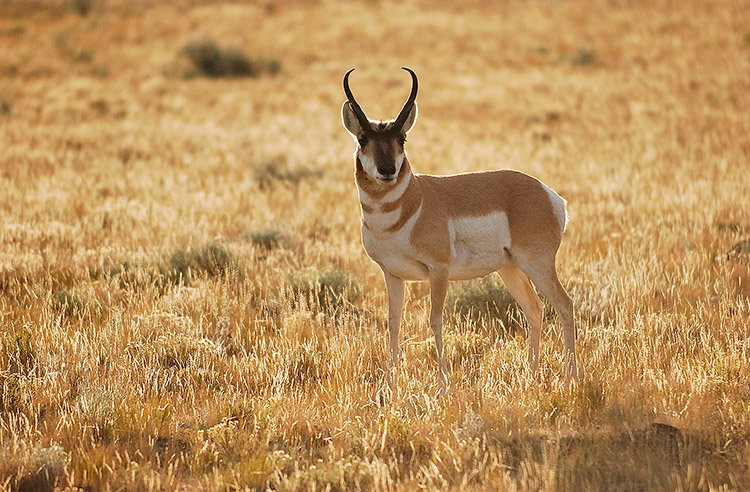 Pronghorn_atSunrise_BlacktailPonds_8836