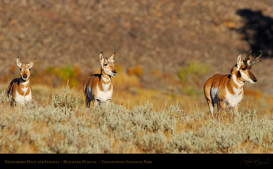 Pronghorns_BlacktailPlateau_0392_16x9