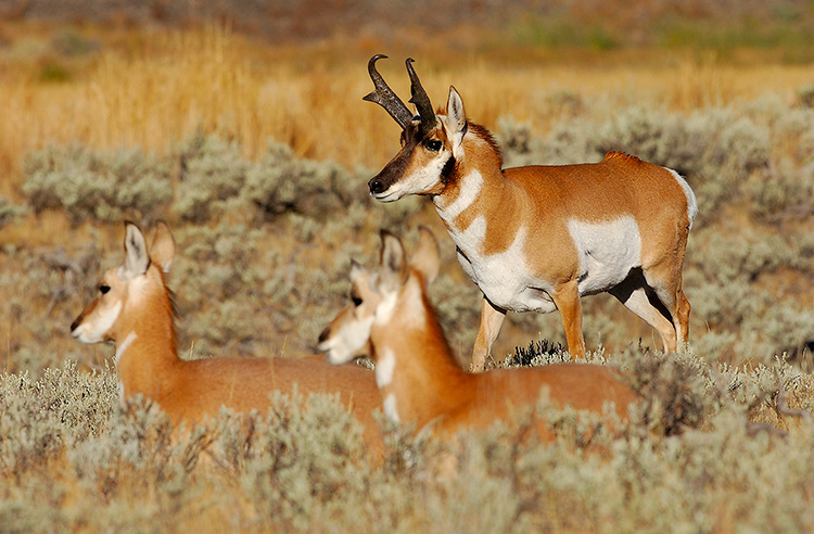 Pronghorns_BlacktailPlateau_0456