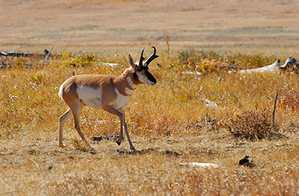 Pronghorn_LamarValley_0568