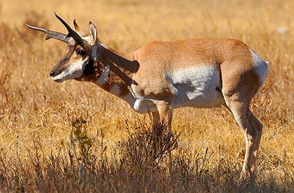 Pronghorn_LamarValley_0963