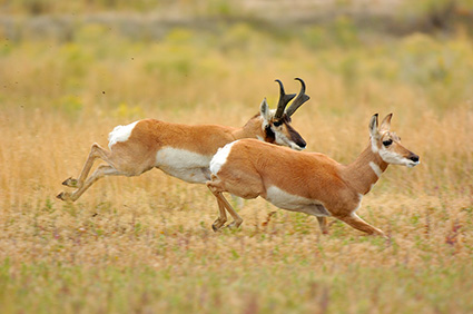 Pronghorns_NorthEntrance_Yellowstone_0162