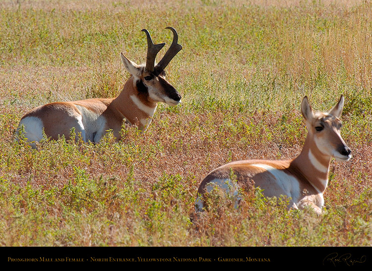 Pronghorns_NorthEntrance_Yellowstone_7636