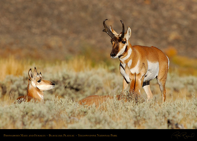 Pronghorns_BlacktailPlateau_0410