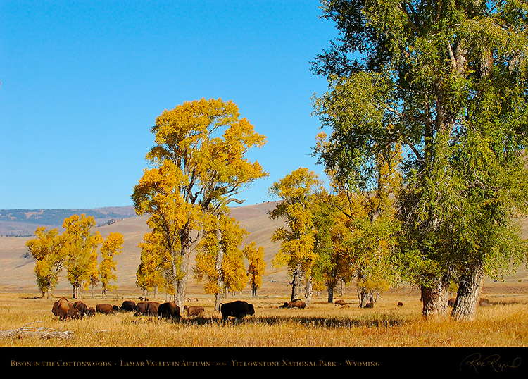 Bison_LamarValley_0517