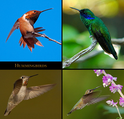 Hummingbirds_s