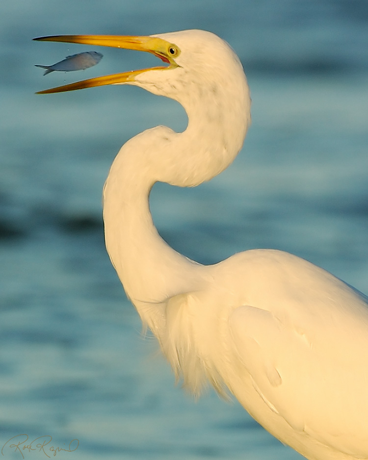 GreatEgret_Fish_0159