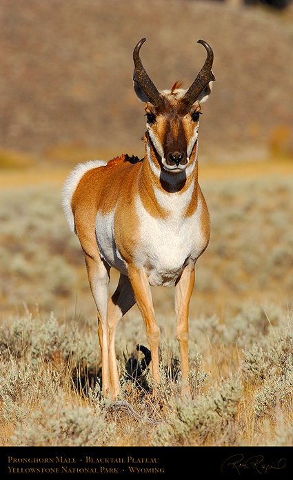 Pronghorn_BlacktailPlateau_0470