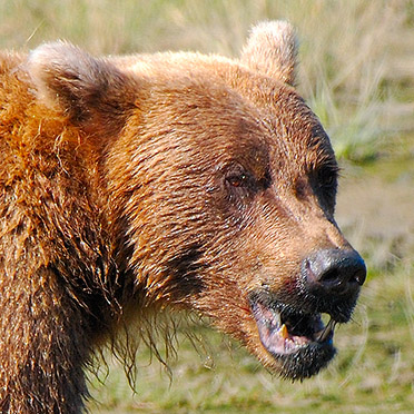 Grizzly_Snarl_X4053c